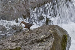 A Dipper in the River Lyn, at Lynmouth, Exmoor National Park, Devon, Great Britain.