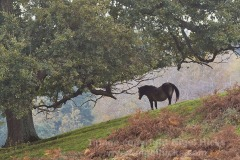 Exmoor pony in countryside near Dunster, Exmoor National Park, Somerset, Great Britain.