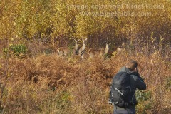 Photographing Red Deer in countryside near Dunster, Exmoor National Park, Somerset, Great Britain.