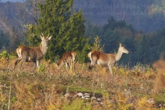 Red Deer in countryside near Dunster, Exmoor National Park, Somerset, Great Britain.