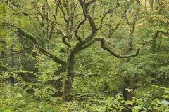 Ancient oak woodland in the Teign valley, near Fingle Bridge, Dartmoor National Park, Devon, Great Britain.
