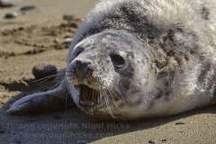 A Grey Seal pup near St Austell.