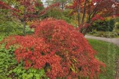 Autumnal maples in the Botanical Garden, Bath, Great Britain.