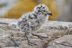 GBBG chick