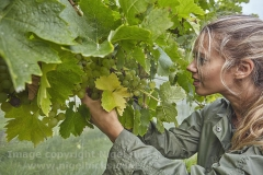 Autumn grape harvest at Trevibban Mill Vineyard, near Padstow, Cornwall, Great Britain.