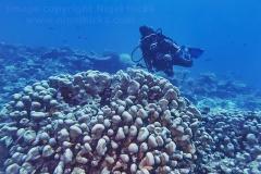 A diver around a Stylophora species hard coral, Gaafu Dhaalu atoll, the Maldives.