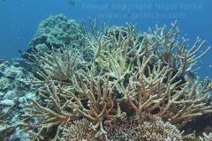 An Acropora species staghorn hard coral, on Gaafu Dhaalu atoll, the Maldives.