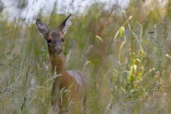 A young Roe Deer in a field near St Austell, Cornwall, Great Britain.