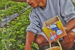 A farm worker picking ripe strawberries, at a strawberry farm on the outskirts of Baguio, Benguet, Luzon, Philippines.