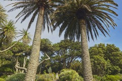 Palms on the Neptune Steps, leading up to the Father Neptune statue, in Abbey Garden, Tresco, Isles of Scilly, Cornwall, Great Britain.