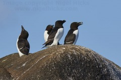 Razorbills, Alca torda, on a rock in the Western Rocks, Isles of Scilly, Great Britain.