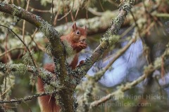 Red Squirrel, in  Abbey Garden, Tresco, Isles of Scilly, Cornwall, Great Britain.