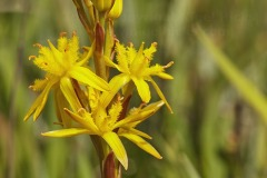 Bog Asphodel, Narthecium ossifragum, in Knowstone Moor Nature Reserve, near Tiverton, Devon, Great Britain.