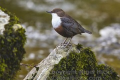 A Dipper, Cinclus cinclus, on the River Lyn at Watersmeet, near Lynmouth, Exmoor National Park, Devon, Great Britain.