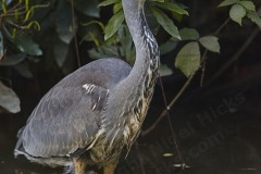 Grey Heron, Ardea cinerea, at Stover Country Park, near Newton Abbot, Devon, Great Britain.