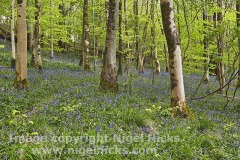 Bluebells in flower in Long Wood, part of the Cheddar Complex Nature Reserves, Cheddar Gorge, in the Mendip Hills, Somerset, Great Britain.
