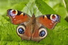 A Peacock butterfly, Inachis io, Bishopsteignton, Devon, UK.