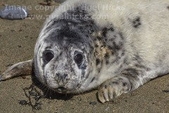 A Grey Seal pup, Halichoerus grypus, at Kiberick Cove, on the eastern side of Nare Head, near Veryan, Cornwall, Great Britain.