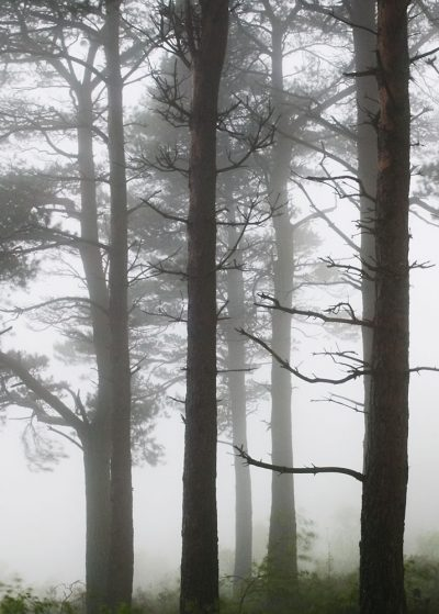 Pines in a foggy landscape greetings card