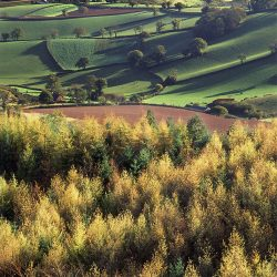 Autumn larches rural landscape greetings card