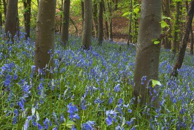 Bluebell woodland spring landscape greetings card