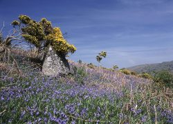Bluebells and gorse summer landscape greetings card