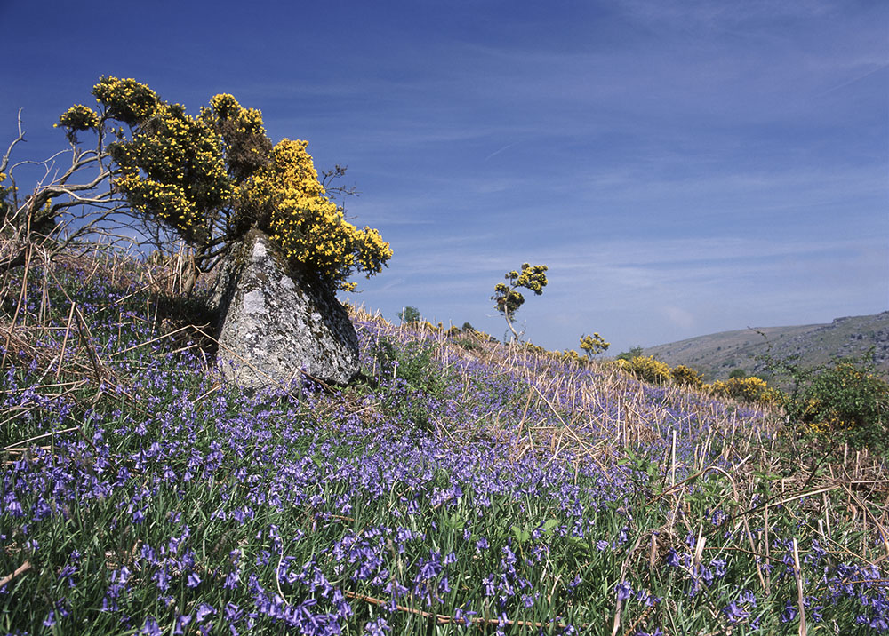 Buy greetings cards. Bluebells and gorse summer landscape greetings card