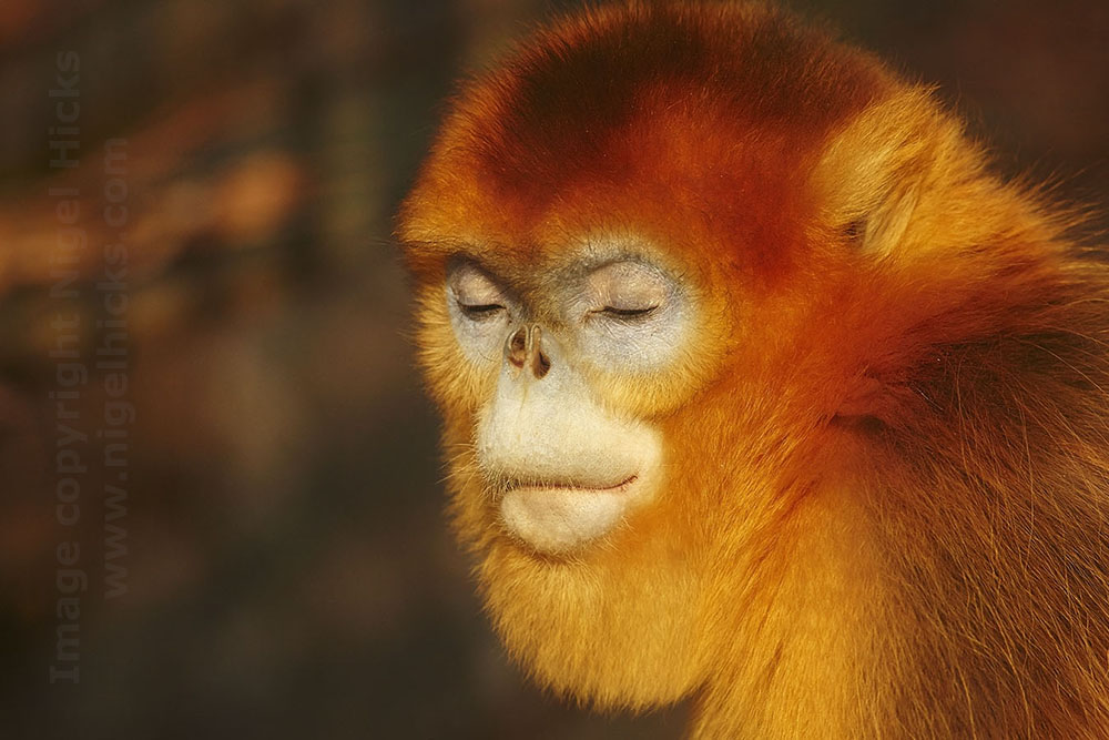 Golden Snub-nosed monkey, one image in Nigel Hicks's Goals in Photography talk.