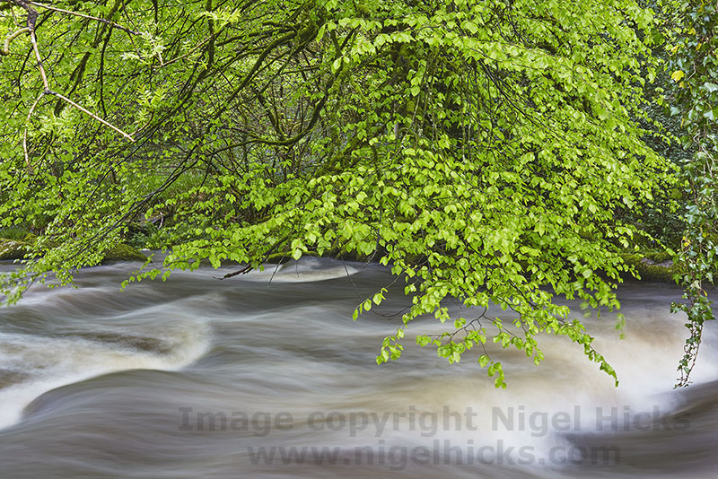 The River Dart flowing threw nely leafed-out woodland, on Dartmoor, Devon, Great Britain. Dartmoor in spring photography course.