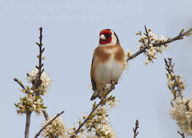 A Goldfinch on a blackthorn tree in spring flower.