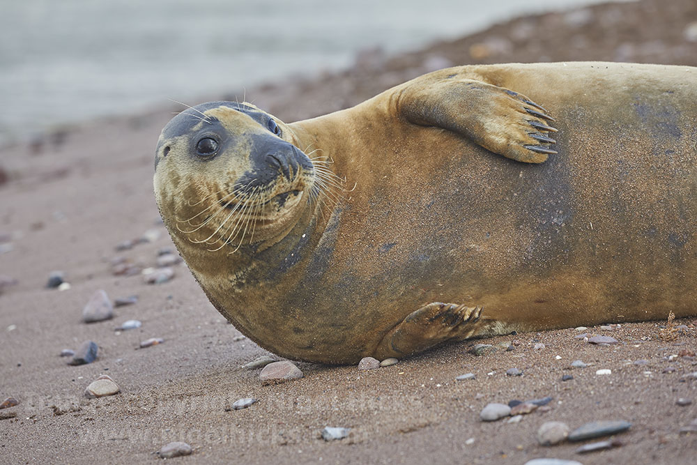 February 2021 Nigel Hicks Photography news. Grey seal on Teignmouth beach.