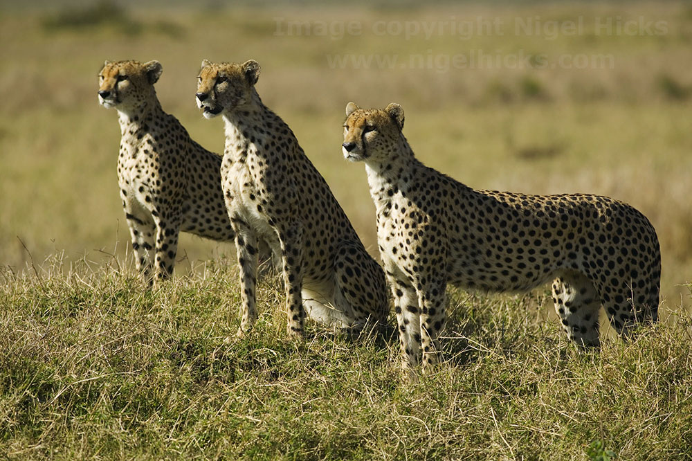 March 2021 Nigel Hicks Photography news. Cheetahs in the Maasai Mara, Kenya.