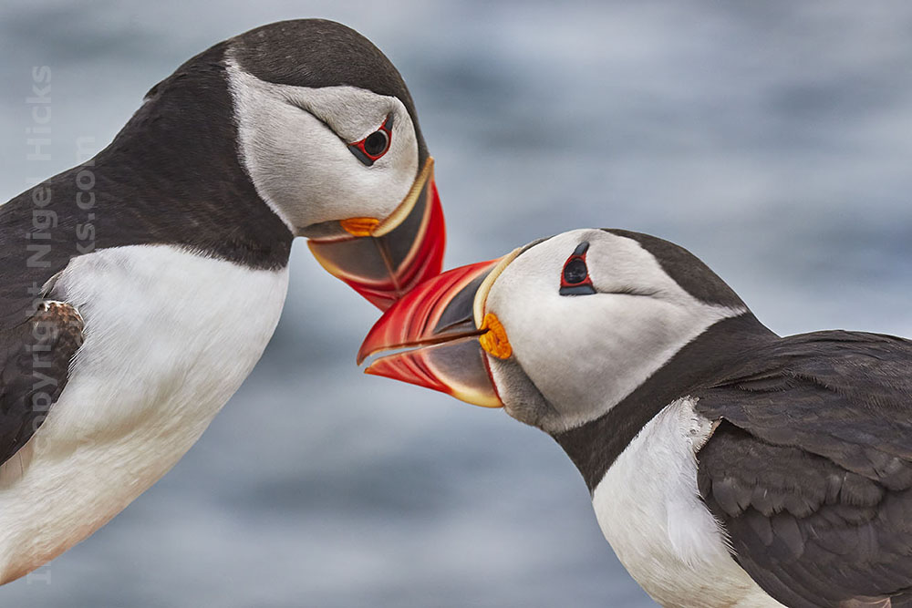 March 2021 Nigel Hicks Photography News. Puffins greeting, Farne Islands.