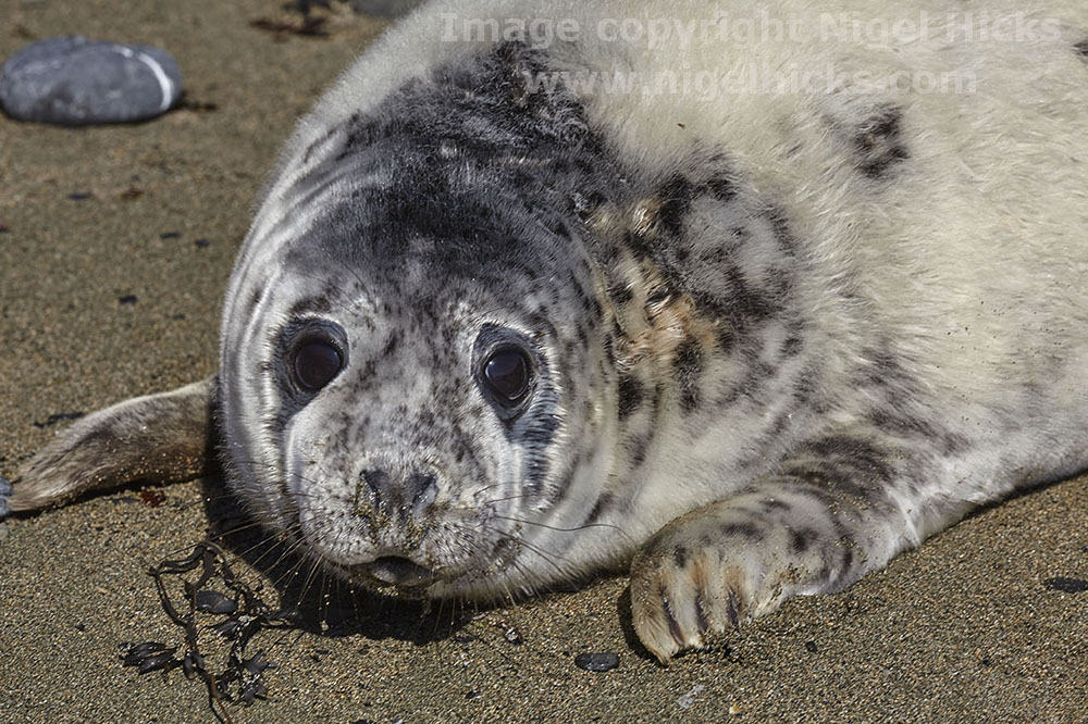 Grey Seal pup. Wildlife Photography: Mammals and Birds.